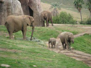 San Diego Zoo Safari Elephants